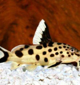 Аквариумные рыбки сомик кукушка