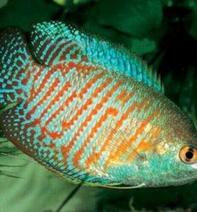 Аквариумные рыбки Лялиус