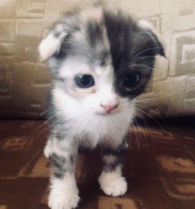 Вислоухие котята