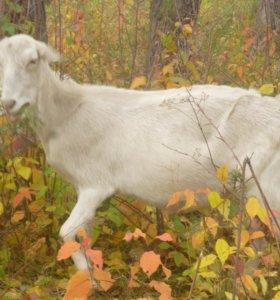 козы дойные и шести месячные козочки