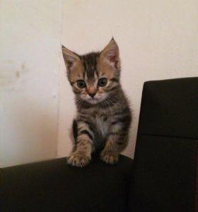 Котенок (похожий на рысь)