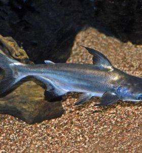 Сиамский акулий сом( пангасиус)