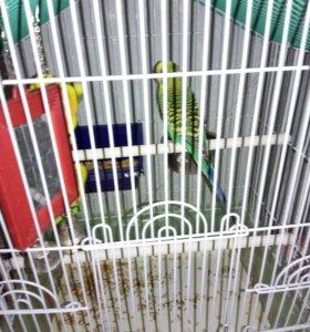 Волнистые папугайи
