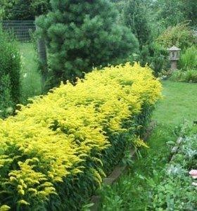 Золотарник - цветы садовые.