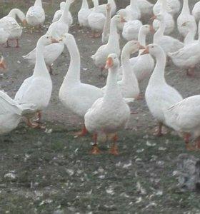 Срочно продам большое стадо гусей