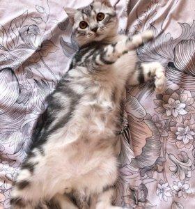 Шотландский кот