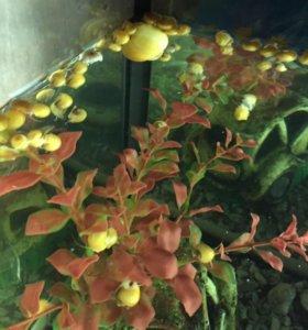 Улитки желтые ампулярия(малыши)