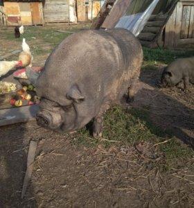 Свиноматка,поросята