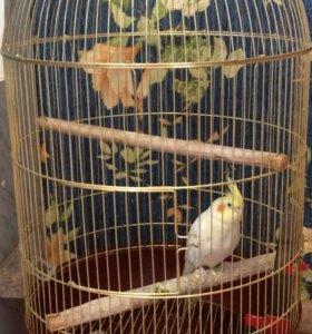 Попугай КОРЕЛЛА(девочка) с большой клеткой.