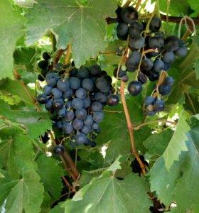 Виноград домашний