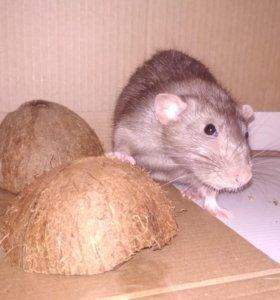 Крыс Дамбо на случку