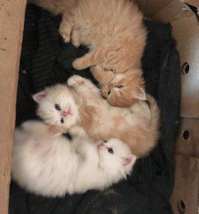 Продам классических персидских котят