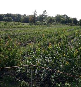 Саженцы плодово-ягодных культур,кустарники