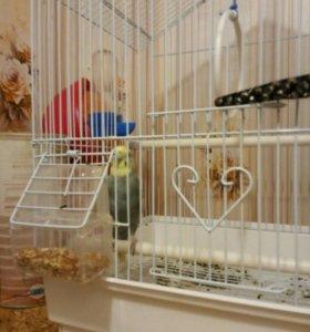 Волнистый попугай девочка!
