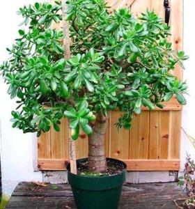 Крассула денежное дерево