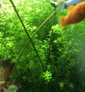 Продам шикарный куст аква расстения Хемиантус