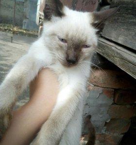Тайская кошечка кушает все очень умная к лотку при