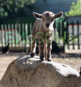 Камерунские козы,карликовые овечки,овечки уэссан