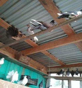 Фазаны и голуби