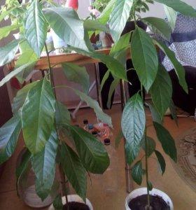 Дерево авокадо.