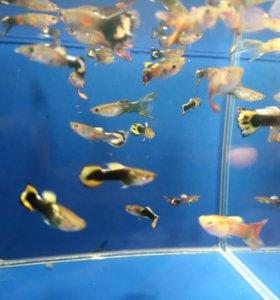 Гуппи. Аквариумные рыбки.