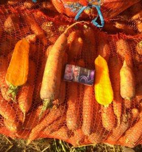Морковь оптом, сорт Каскад с полей производителя