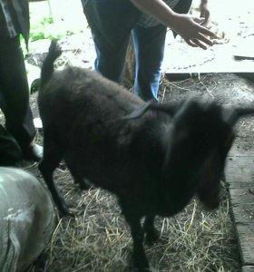 Продам козочку и козла