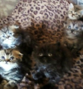 Шотландские котята вислоухие и страйт