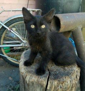 Кошечка сибирской породы
