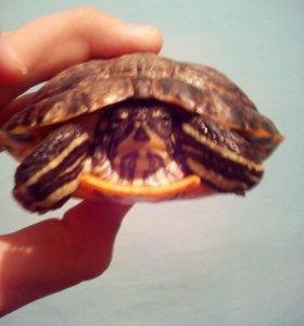 Красноухие Черепаха