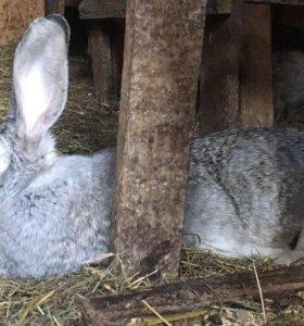 Племенные кролики породы Фландр/ Мясо кролика