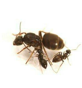 Муравьи Lasius niger для муравьинной фермы