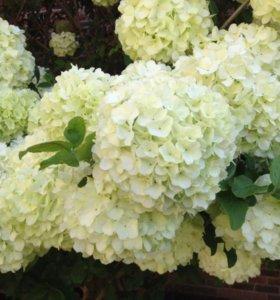 Гортензия садовая белая