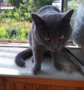 Найден кот возле 3 богатырей по Блюхера,британец.
