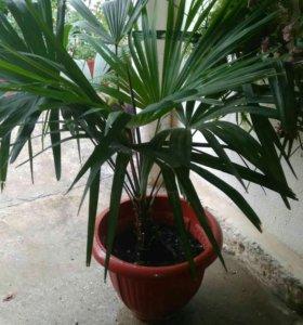 Продам взрослую пальму