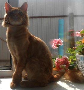 Красный мраморный кот Мейн Кун,вязка