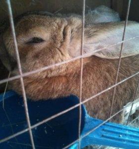 Кролик-самец породы баран