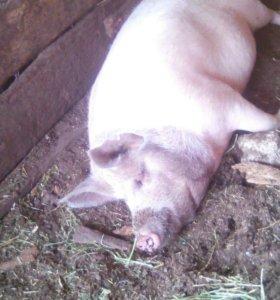 Продаю свинью