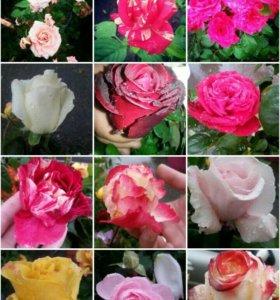 Розы деревья
