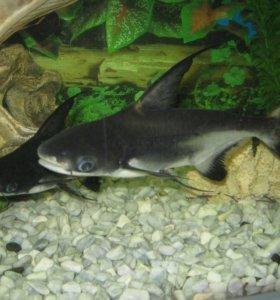 Рыбка пангасиус.