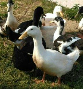 Утки черные белогрудые, голубой фаворит, белые.