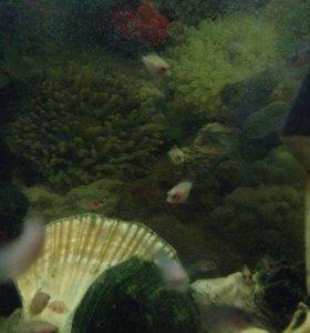 Рыбки Цехлозома чернополосая и альбинос
