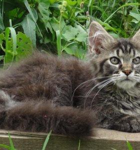 Котики и кошечки мейн-кун.