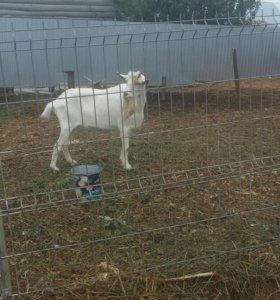 Зааненский племенной козел.