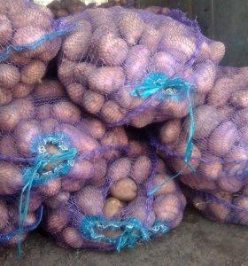 Свежий урожай Картофель