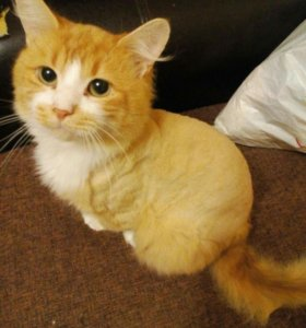 Рыжий кот)