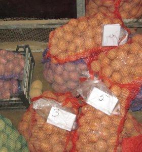 Семенной картофель сорт Колобок