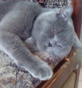 Кошечка британочка ищет жениха