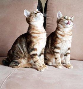 Шикарные котята курильского бобтейла