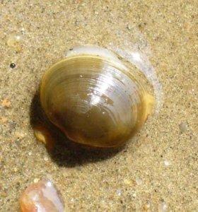 Двустворчатый моллюск шаровка